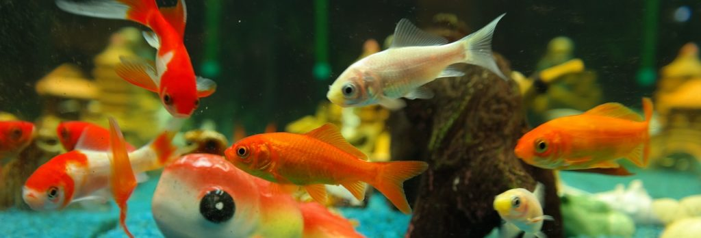 fish, goldfish, freshwater fish